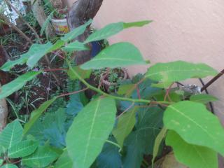 Euphorbia pulcherrima- Poinsettia, étoiles de Noël  :bouturage, entretien 612638PICT0015JPG