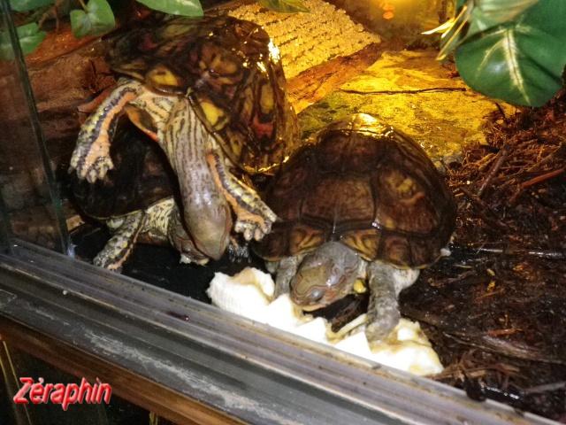 Aménagement d'un aqua-terrarium pour espèce semi-aquatique 62808307janvier20129