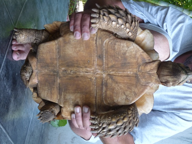 identification mâle sulcata 631494P1080355