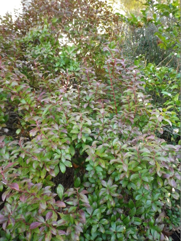 Pieris japonica 'Little Heath Green' 633468IMGP3838