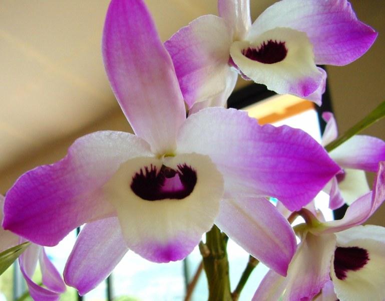 Dendrobium nobile 633599DSC05996800x600