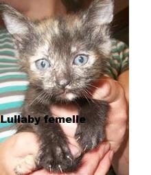 LULLABY (chaton écaille de tortue) 639198Lullabyfemelle