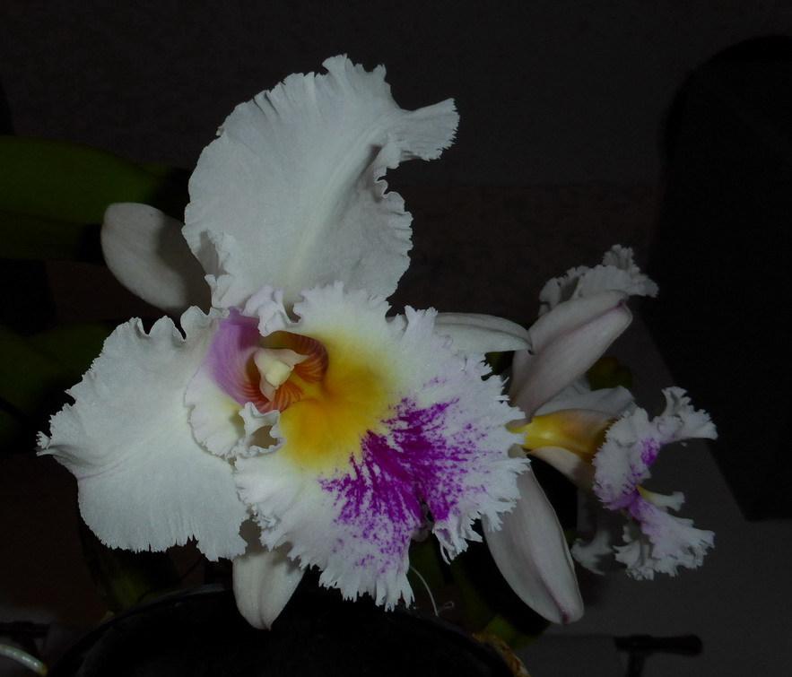 Orchidée Pérou 640928P1190372