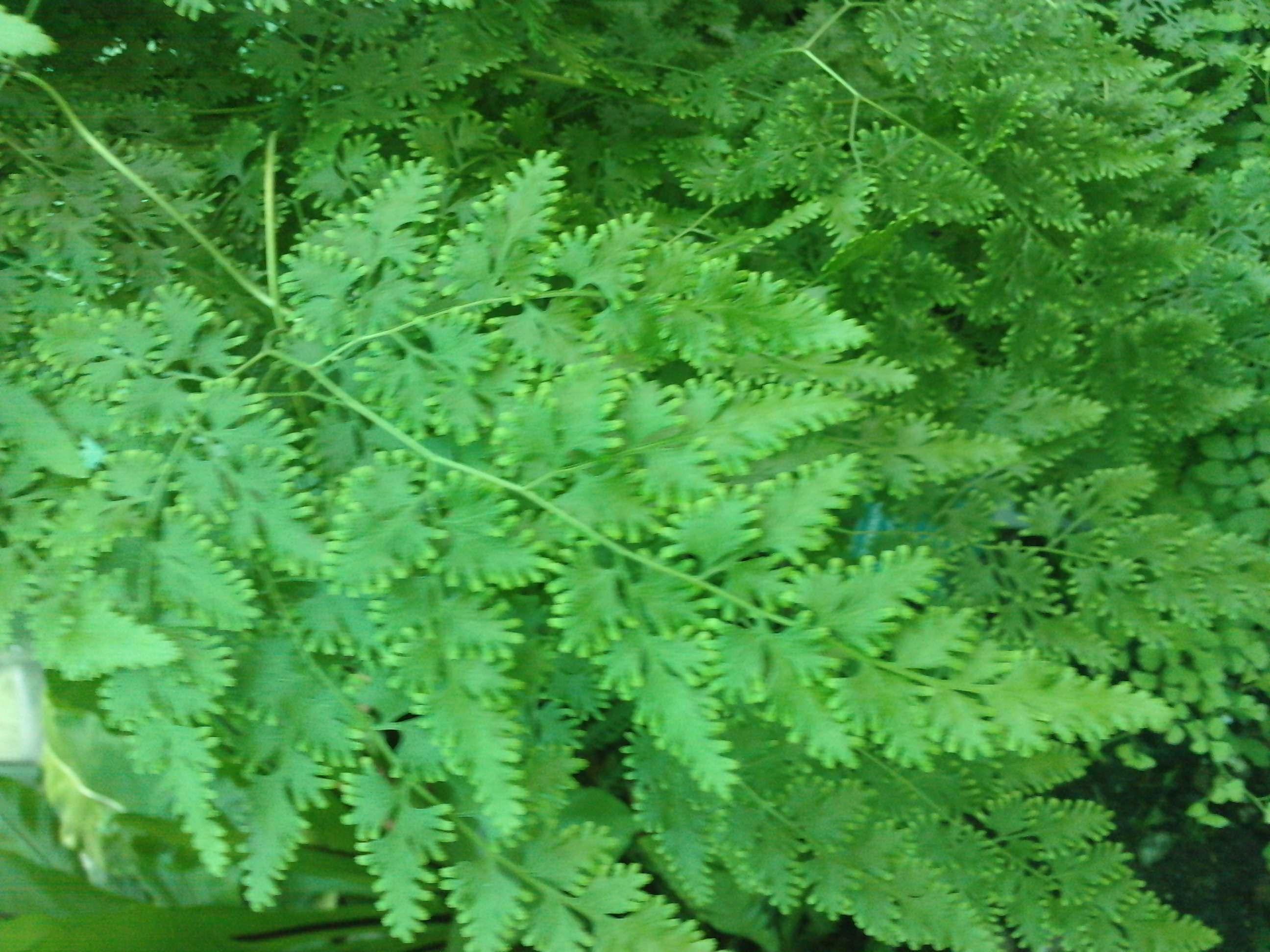Lygodium japonicum  643432P17051110460004