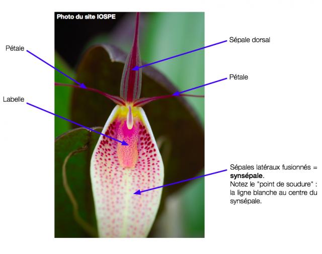 Structure d'une fleur d'orchidée 649950Capturede769cran20160320a768190302