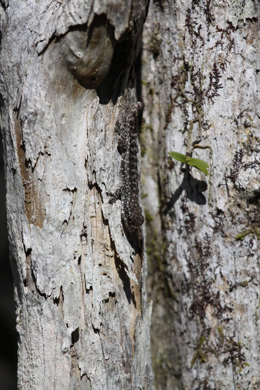 Identification gecko Île Maurice 651191gecko1