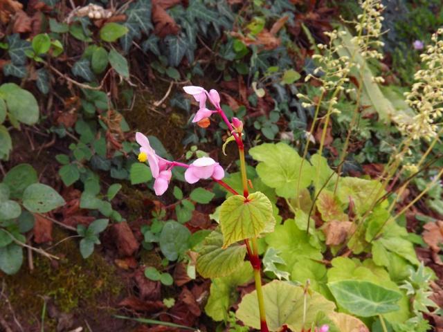 Begonia grandis subsp. evansiana 651297DSCF6544