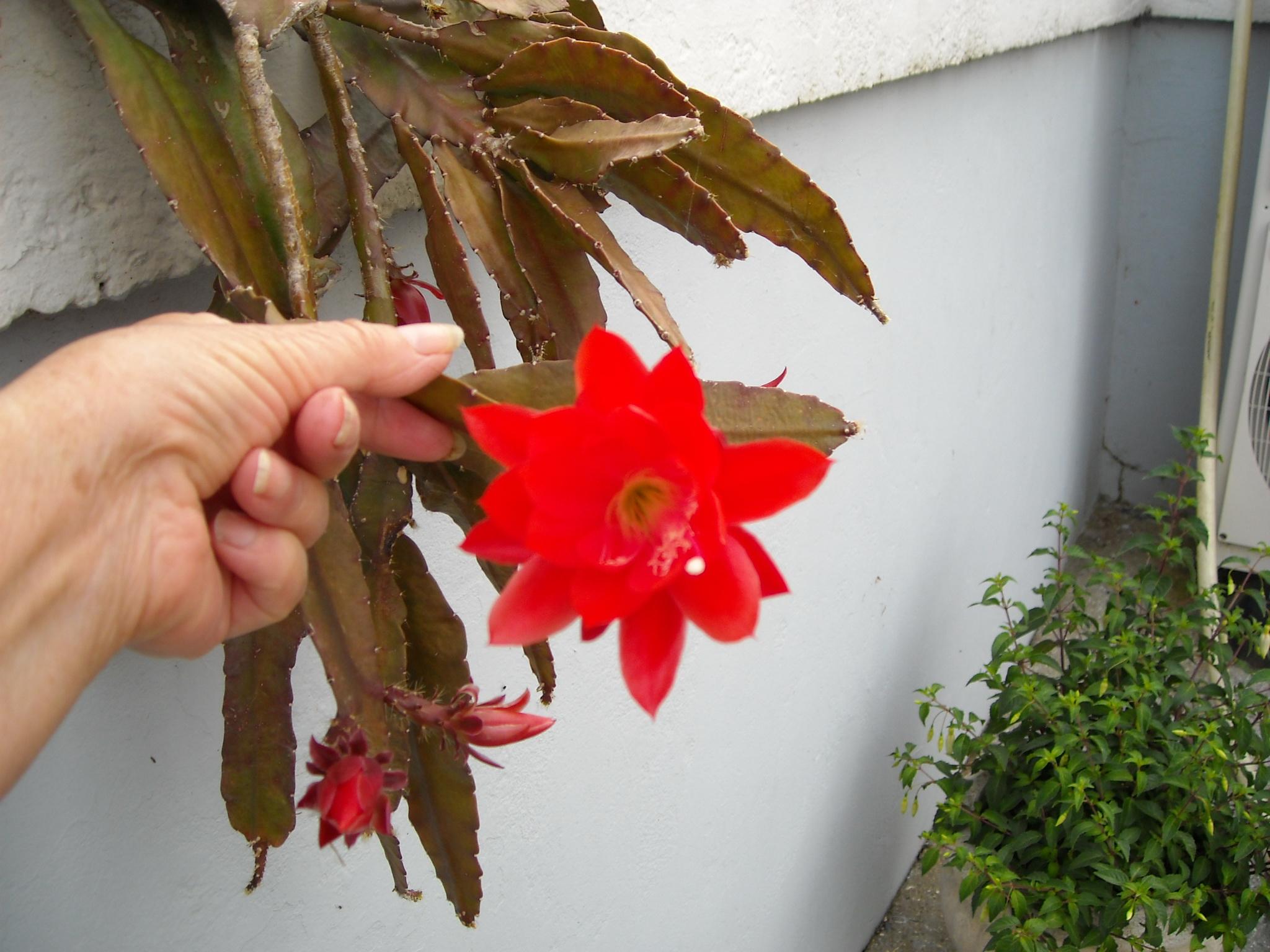 cactus  épiphyte 651730mesbegosetautres003