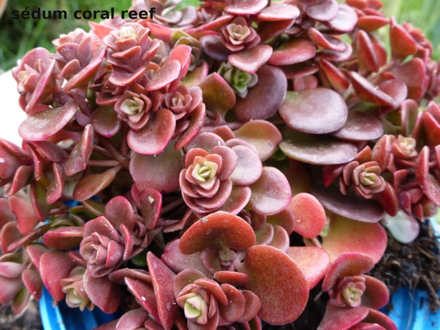 Sedum tetractinum 'Coral Reef' 655554sedumcoralreef1412607903