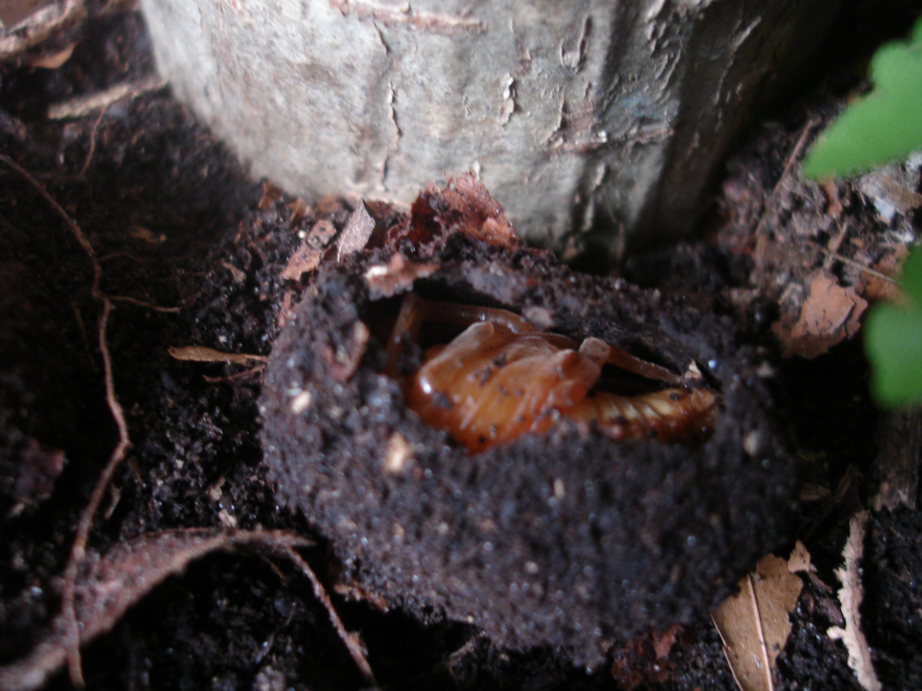 élevage Eudicella 660482DSC06217