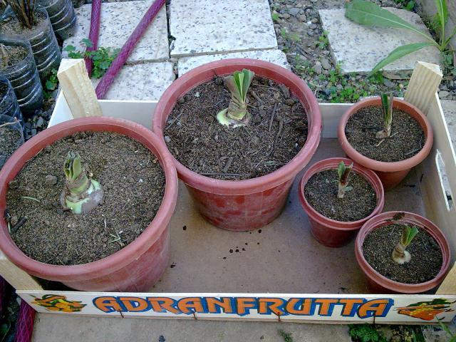 Amaryllis (hippeastrum) -culture, entretien, floraison 661491Photo037