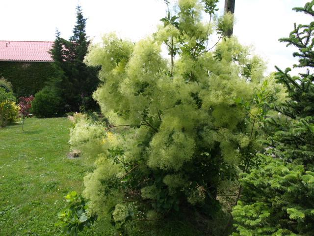 les cotinus (arbre à perruque) 665956P5310613