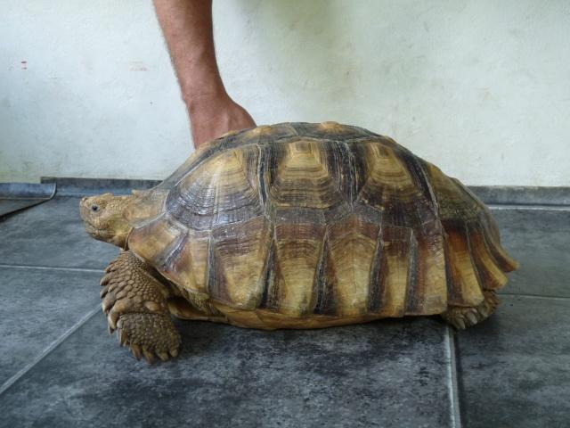 identification mâle sulcata 670095P1080352