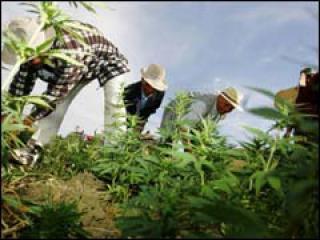 فتاوى حول المخدرات تفرق فقهاء الريف في المغرب 672224Sans_titre