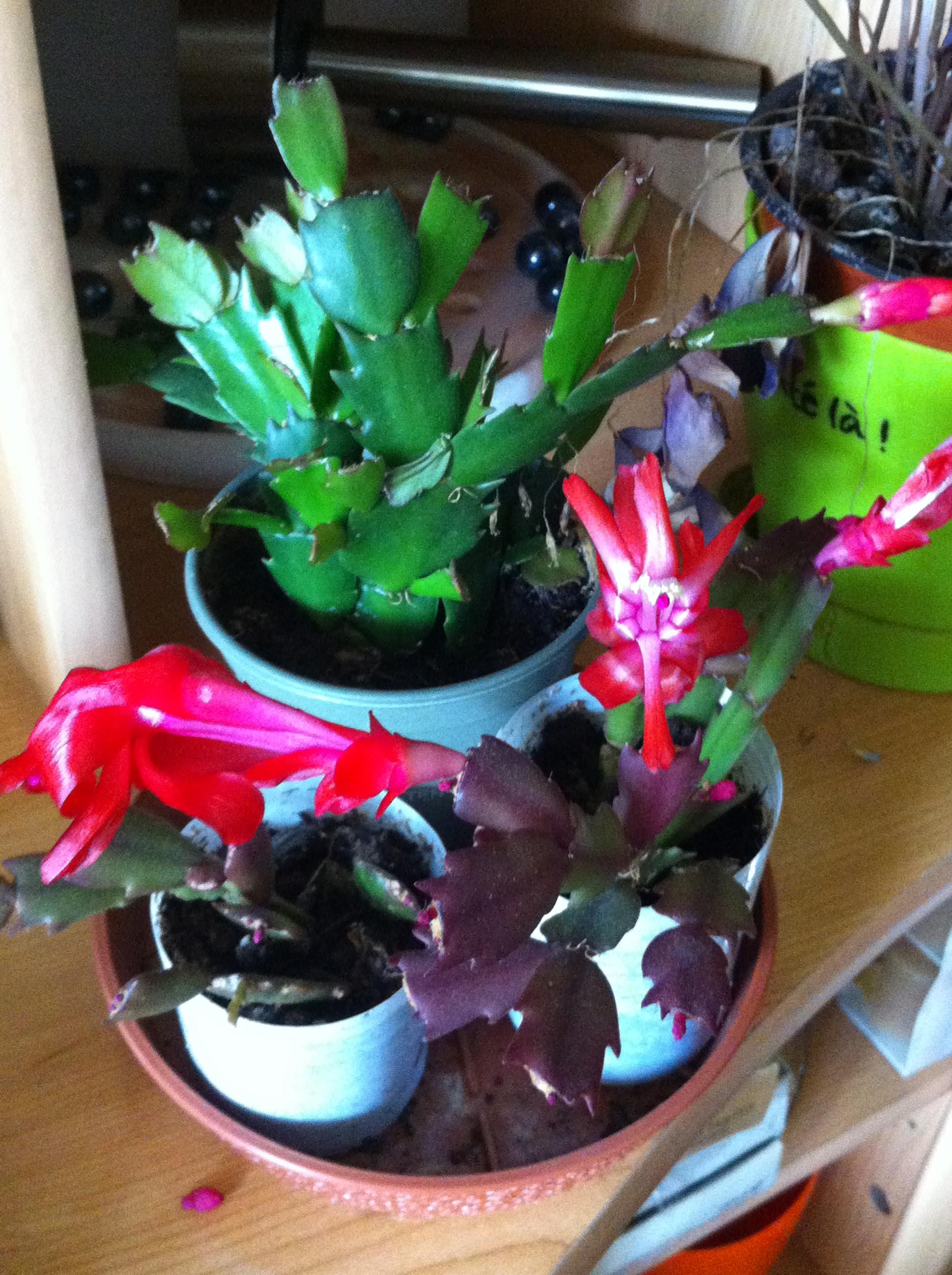 Ma bouture de mon cactus de noël (SCHLUMBERGERA) 68229720121113143644