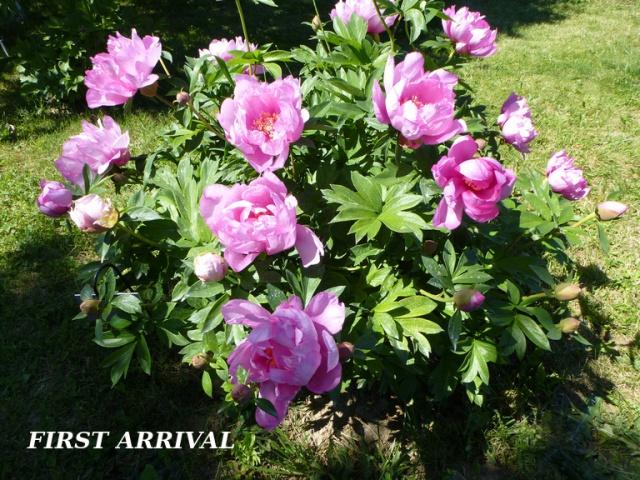 Paeonia - pivoines herbacées - Page 4 682673tuxpicom1398789574
