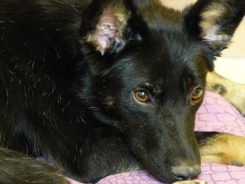 > Mika, un amour de petite chienne, née en mai 2011 - Adoptée 683821P1000008