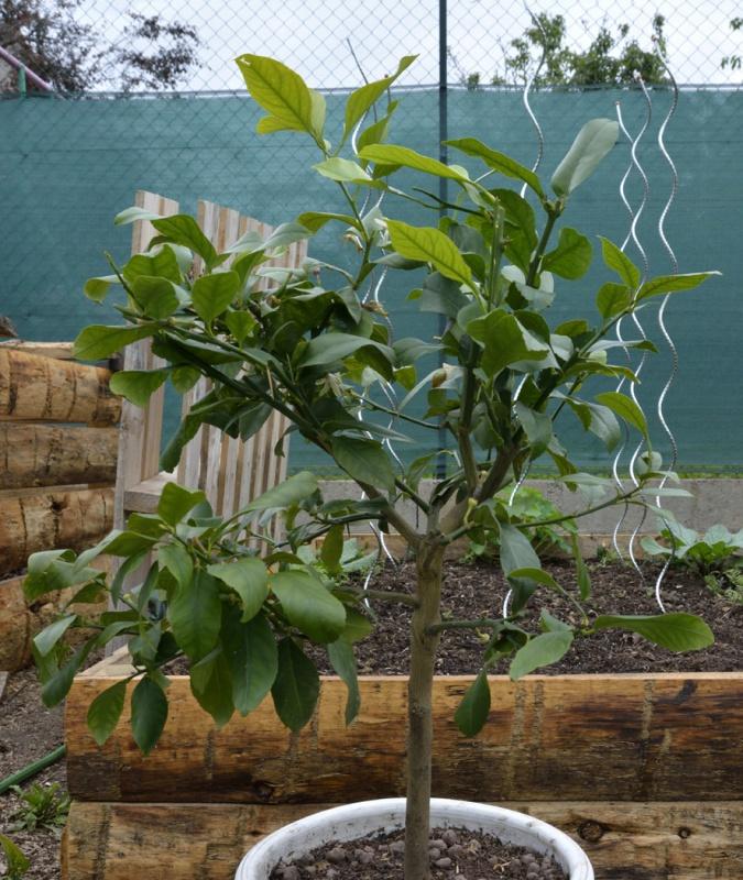 Citrus limon - citronnier des quatre saisons - Page 2 685330citron2