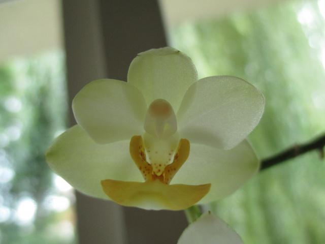 Phalaenopsis Memoria Liu Jin Chyuan 685652IMG8687