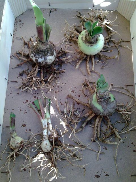 Amaryllis (hippeastrum) -culture, entretien, floraison 693106Photo024