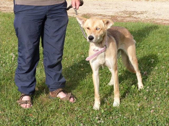 LAYCE Husky x Labrador (f) Née le: 01/06/2013 REFU86 ADOPTEE - Page 2 694238138rLayce3
