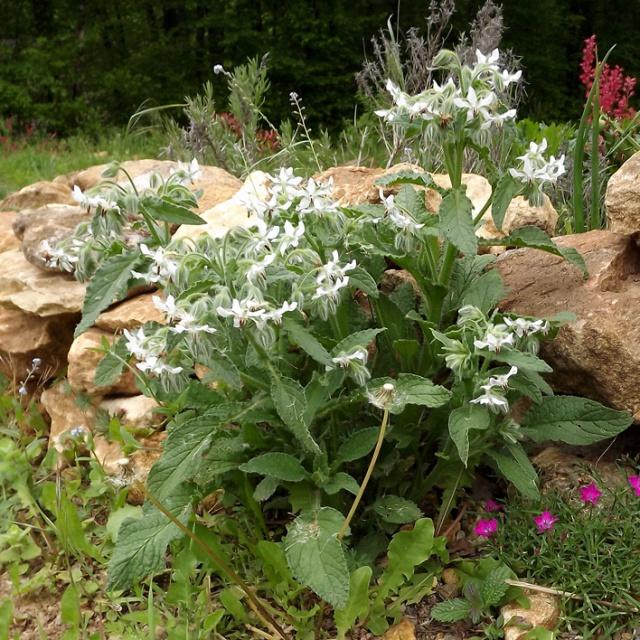 Borago officinalis - bourrache officinale  700603bourracheblanche