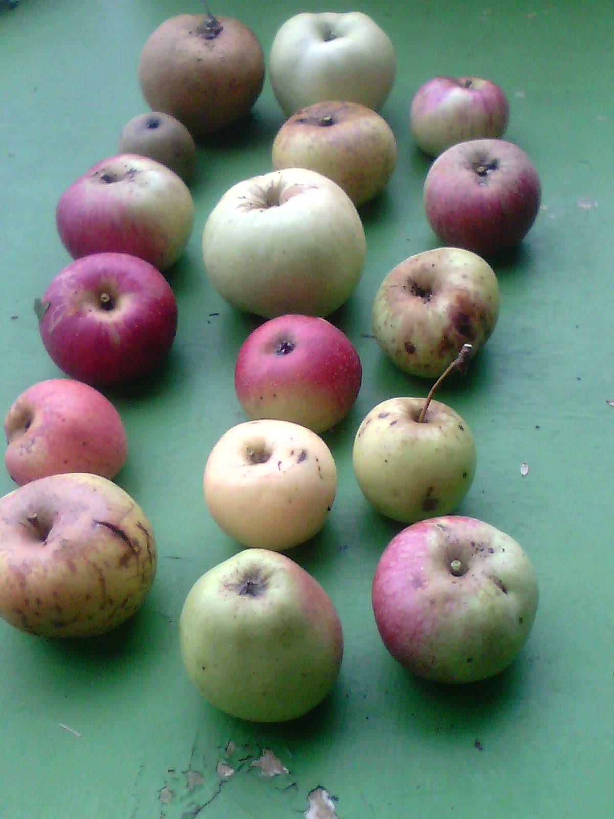 Récolte des pommes et poires 707066IMG1257A