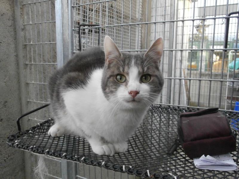 ARTIFICE (chaton gris et blanc) 713834P1212204