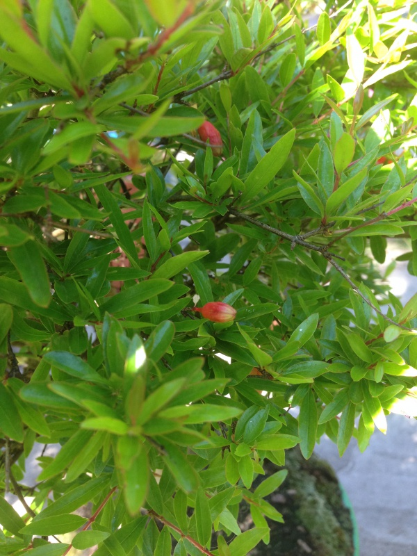 grenadier bonsai 714914IMG5813