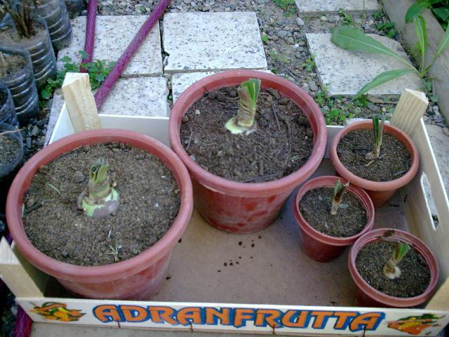 Amaryllis (hippeastrum) -culture, entretien, floraison 717479Photo038