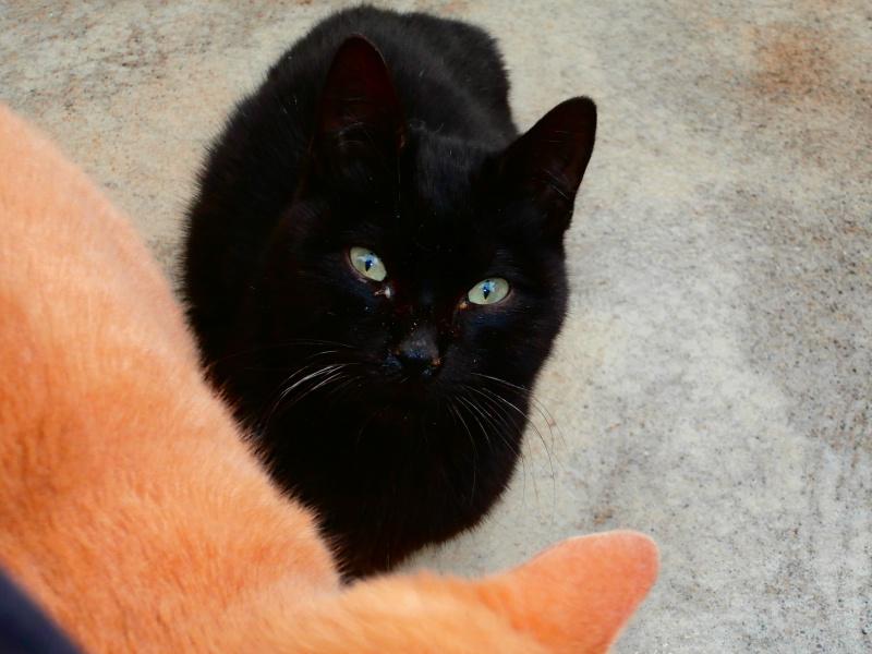 REGLISSE (chaton mâle noir) 717755P1212178