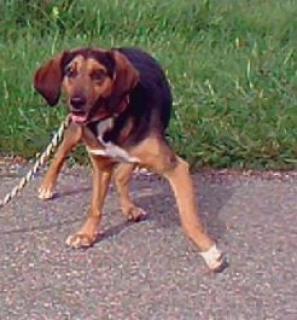 CALIMERO, croisé beagle/bruno du Jura mâle, 3 ans 1/2 (39) 721718716311684389298414211421387024714445055084194849njpg