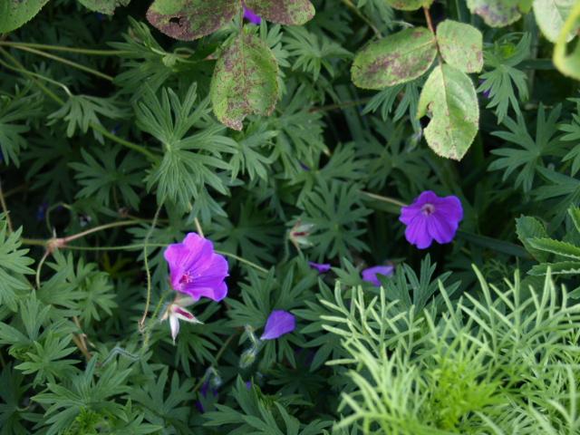 pour les amoureux des géraniums vivaces - Page 35 722364tinymonster