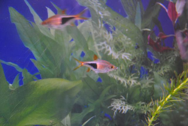 le nouvel aquarium de ma fille  724291DSC4882