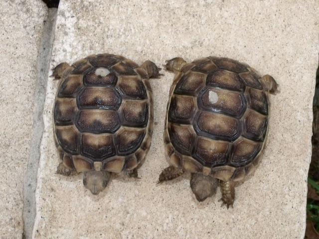 identification de 2 petites tortues  733453705