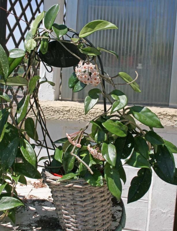 Hoya carnosa 743383hoyacarnosa