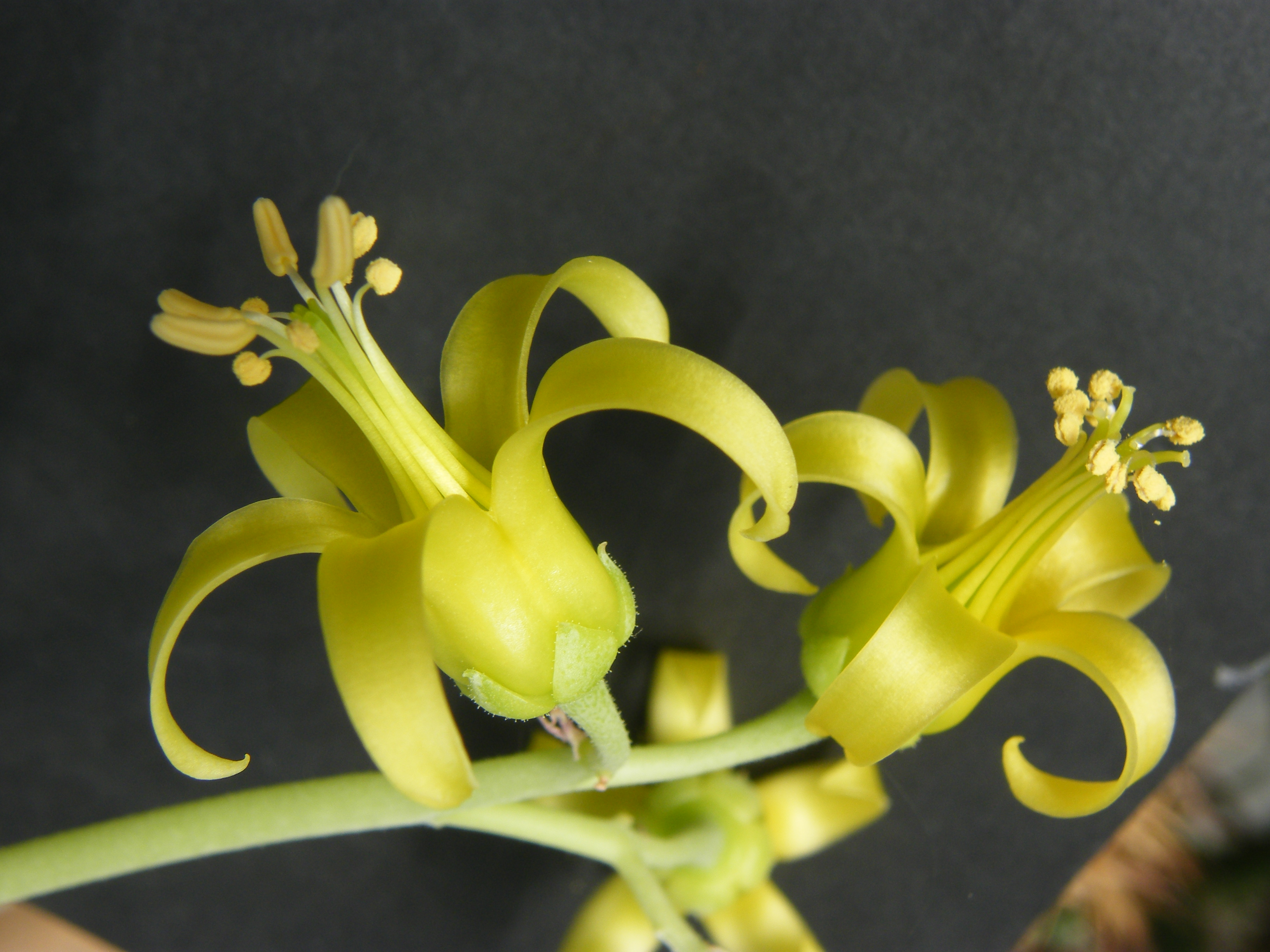 COTYLEDON orbiculata var.flanaganii 747025Juin2012145