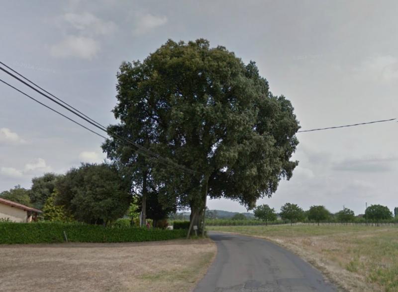 Quercus ilex - chêne vert - Page 2 750684quercusilex1