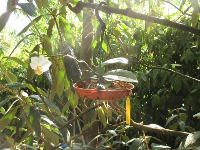 Phalaenopsis Memoria Liu Jin Chyuan 751467IMG8661