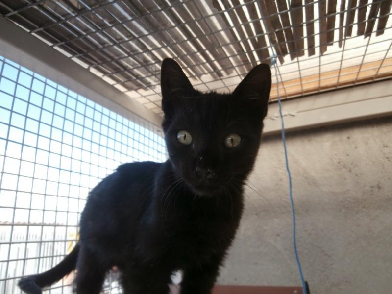 REGLISSE (chaton mâle noir) 751547P9171731