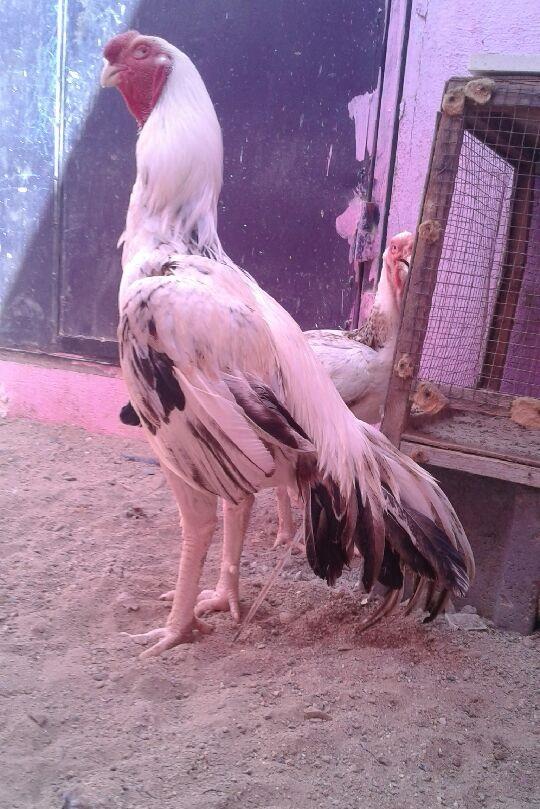 ديك توب و دجاج فارسي 753353701