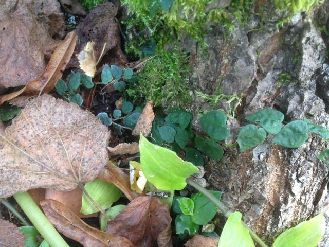 Ficus pumila - Page 2 755054IMG0581