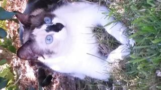 Jyoti femelle typé européen x siamois née le 5 avril 2014  - Page 11 757303201608071213021