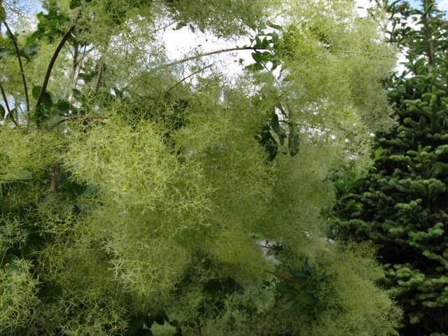 les cotinus (arbre à perruque) 760715P5310616
