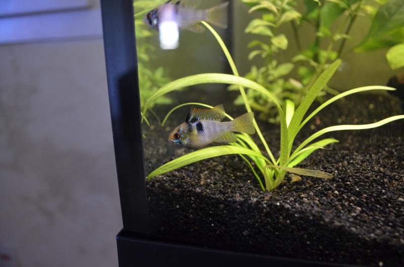 les 1er pas de mon aquarium  de 240 l 765249DSC0403