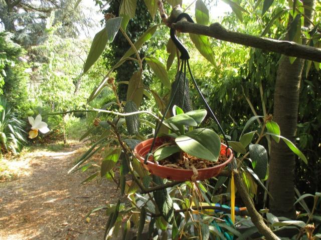 Phalaenopsis Memoria Liu Jin Chyuan 769242IMG8659