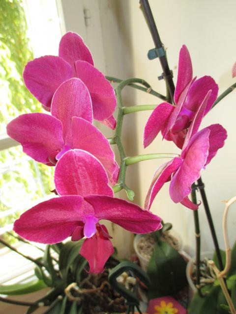 2 Phalaenopsis hybrides 769907IMG8674