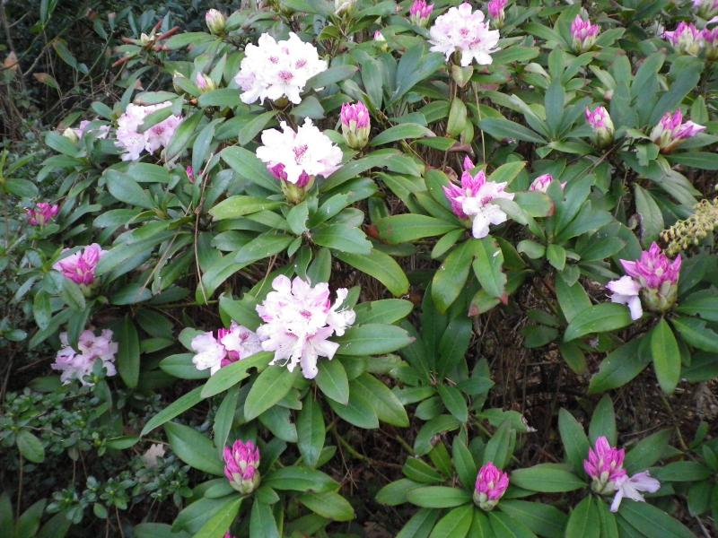 Quelques floraisons 772827RhododendronIMGP1128