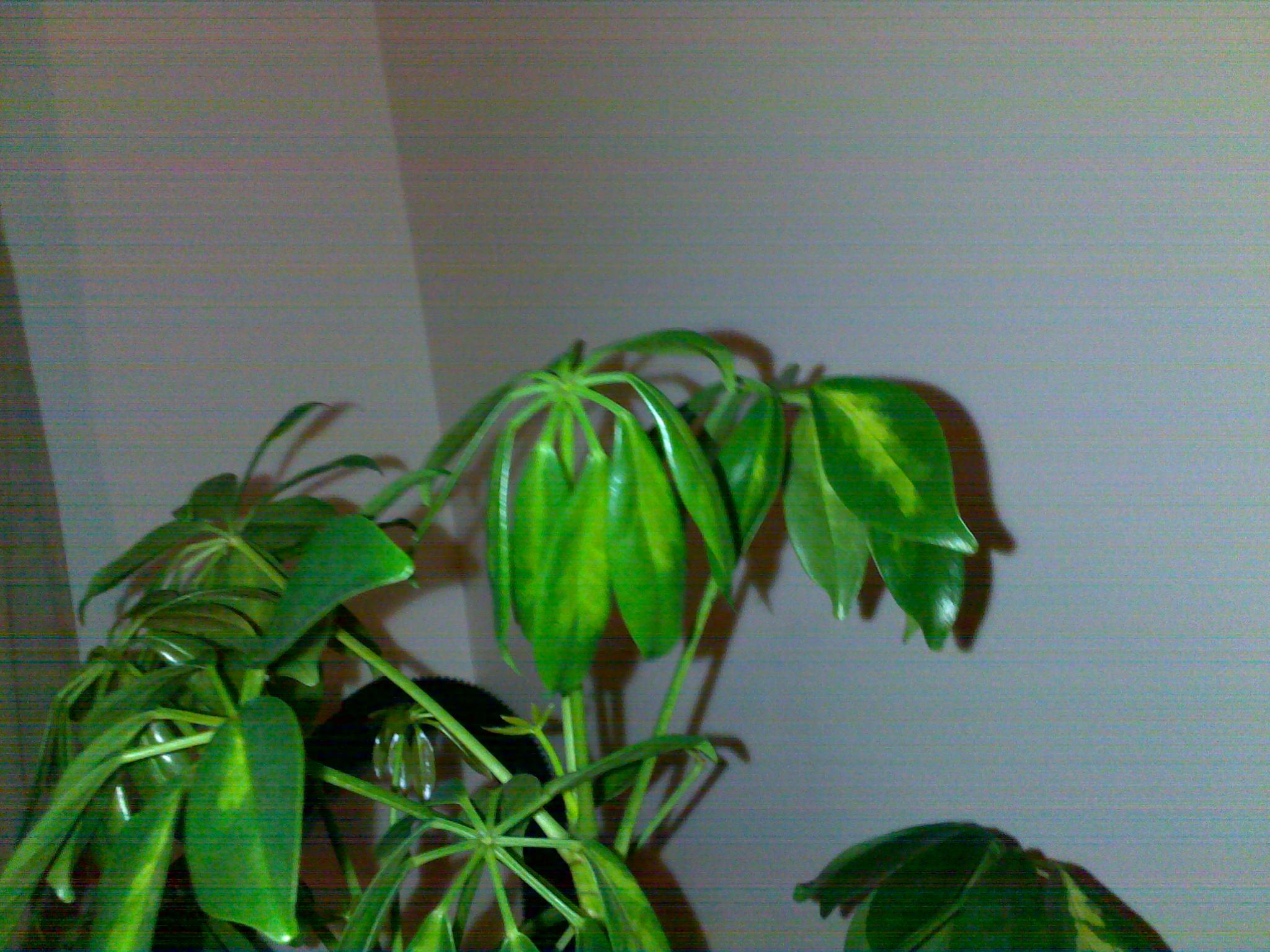 nouvelles feuilles de mon schefflera sont molles 77508320042013146