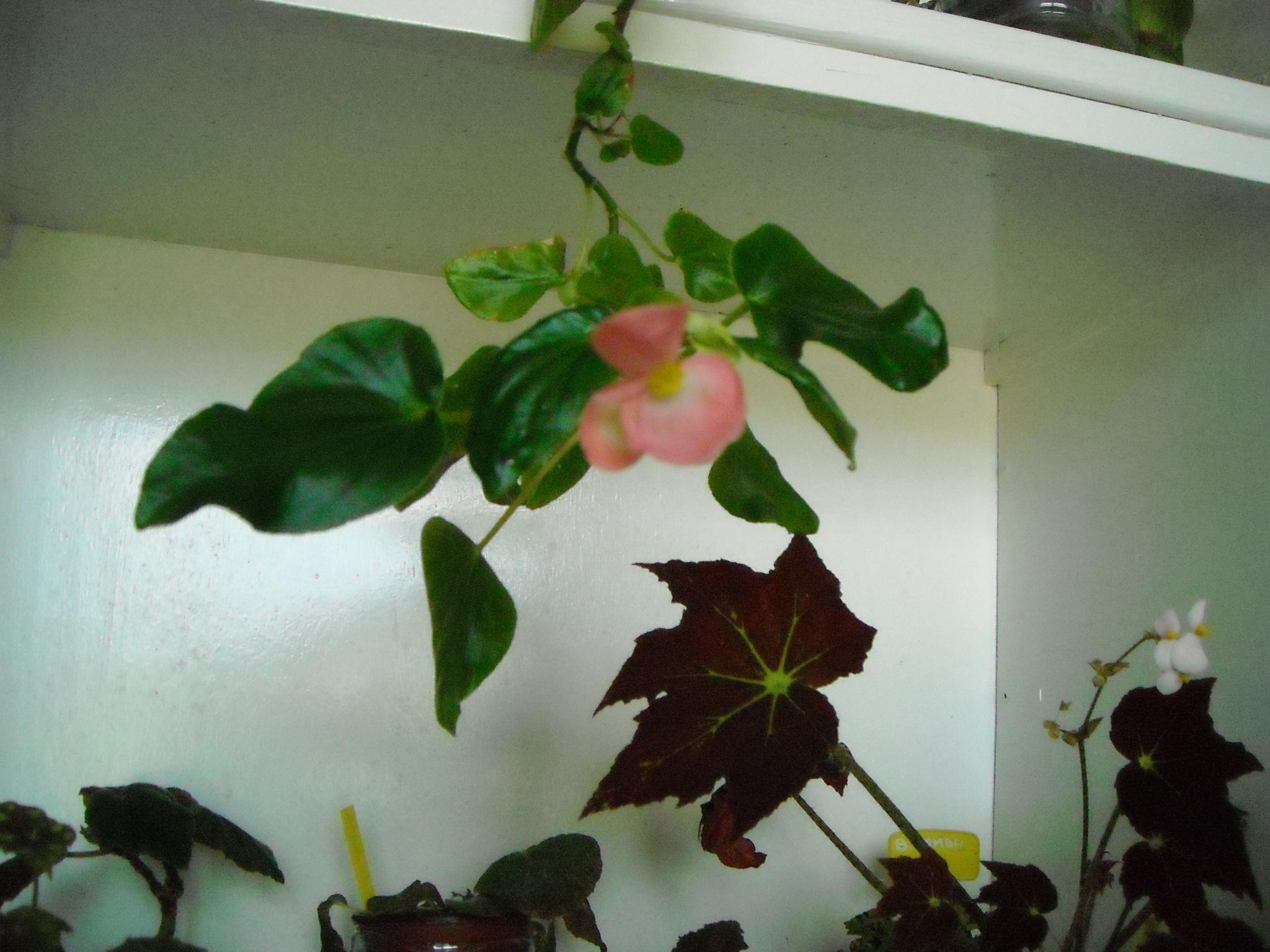 fleuraison d'un bégonia!mais lequel 785543cloudpuff012